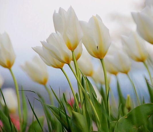 tulipano bianco