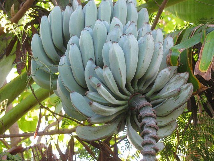 banane Blue Java