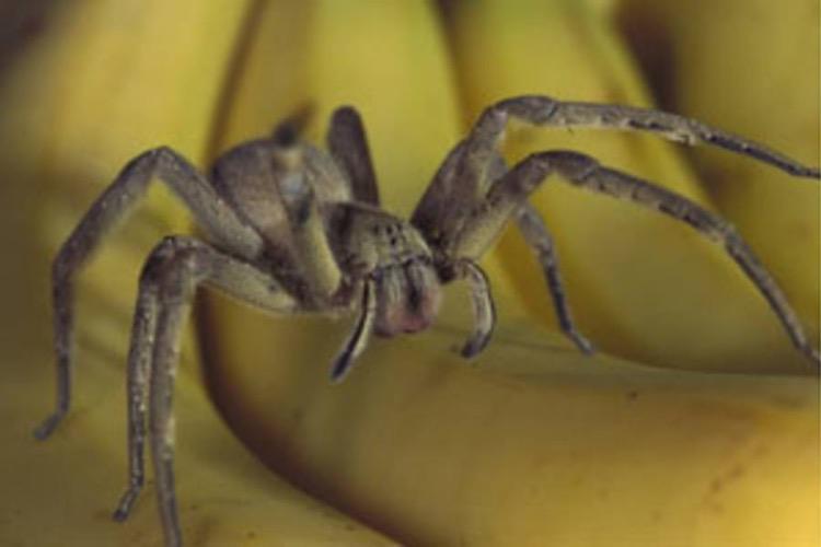 ragno delle banane vagabondo brasiliano morso erezione uccide