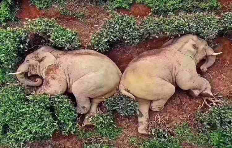Elefanti ubriachi