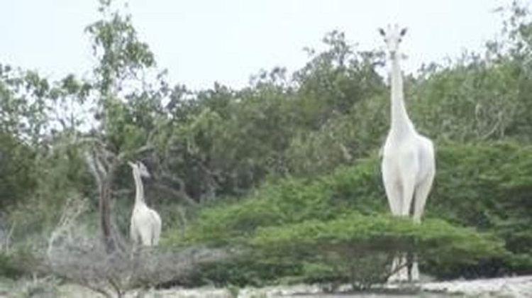 Giraffa bianca ed il suo cucciolo