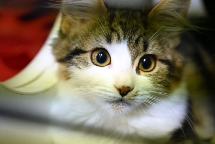 Virus test sierologici gatti