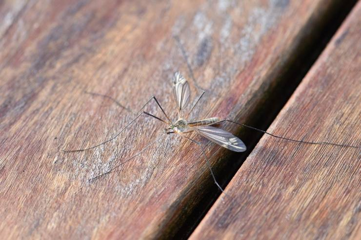 zanzare febbre gialla