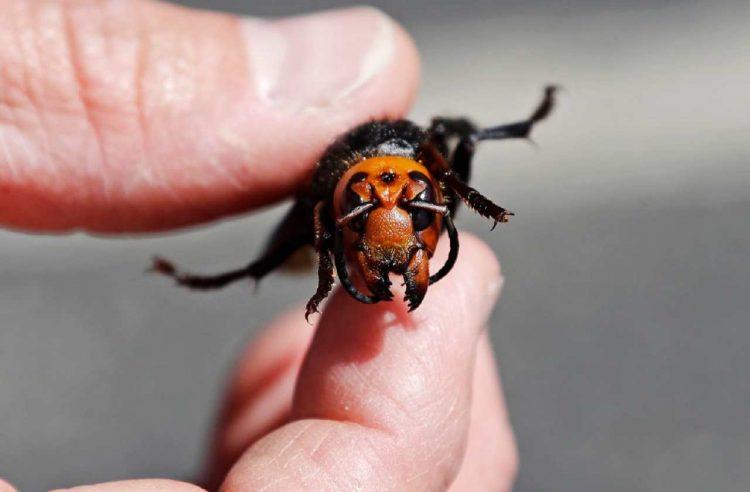 Vespa insetti