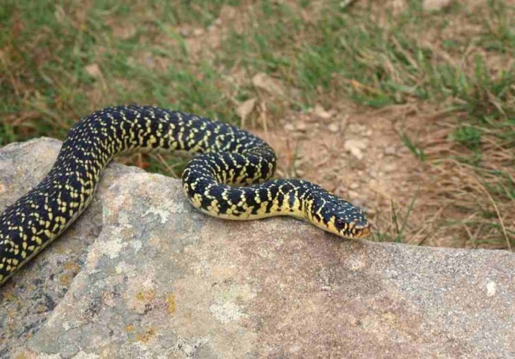 serpente Enpa