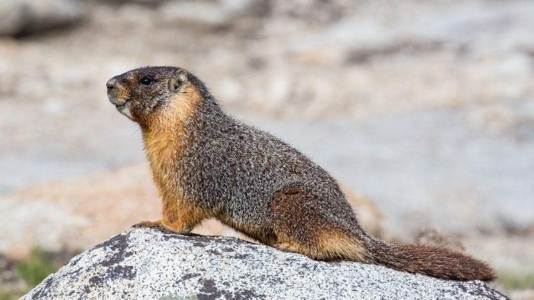 peste nera marmotta