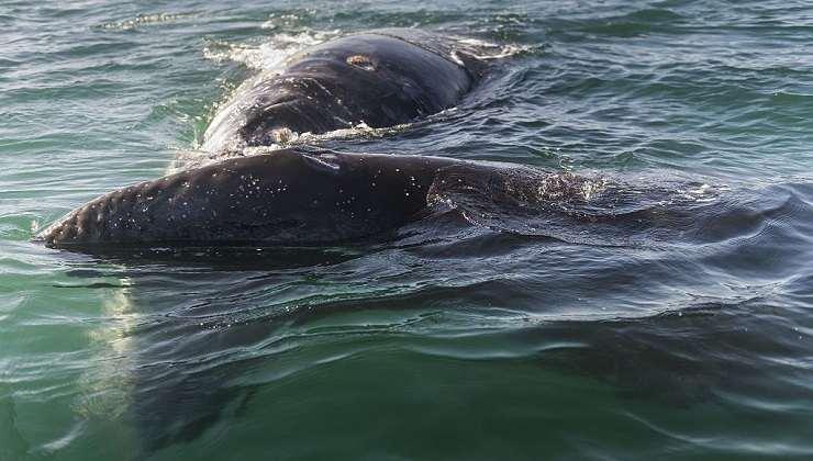 Balene grigie