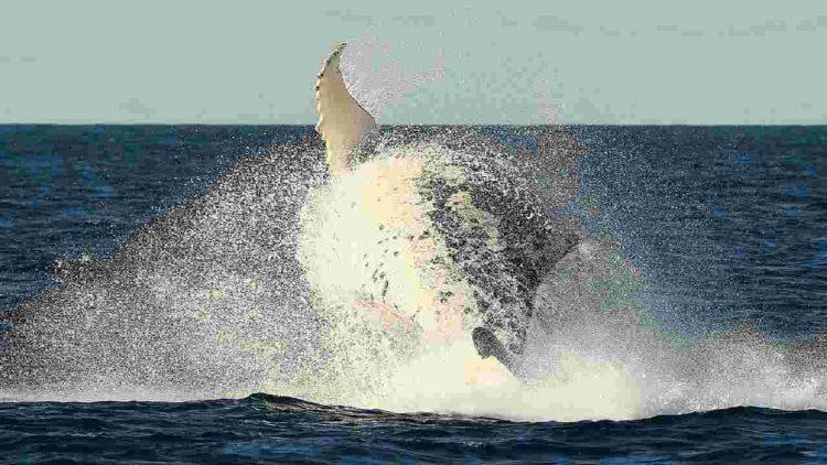 Balene ritornano Sati Uniti