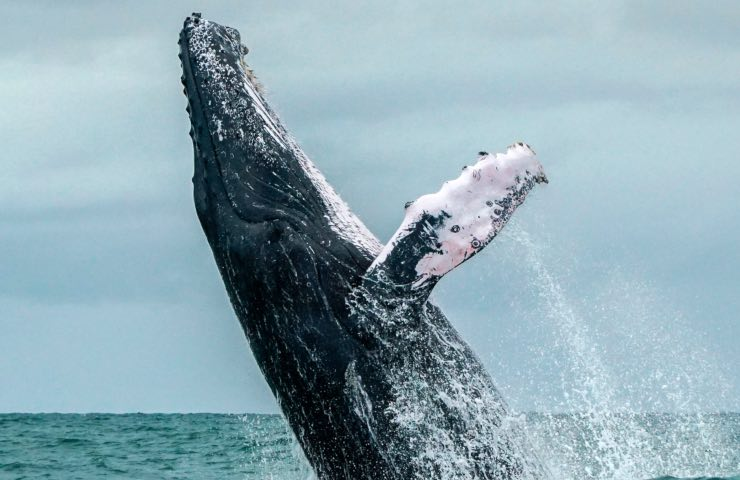 canto balene richiamo assoluto