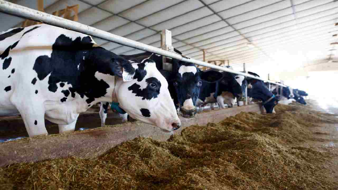 Mangimi allevamenti bovini pericolo uomo