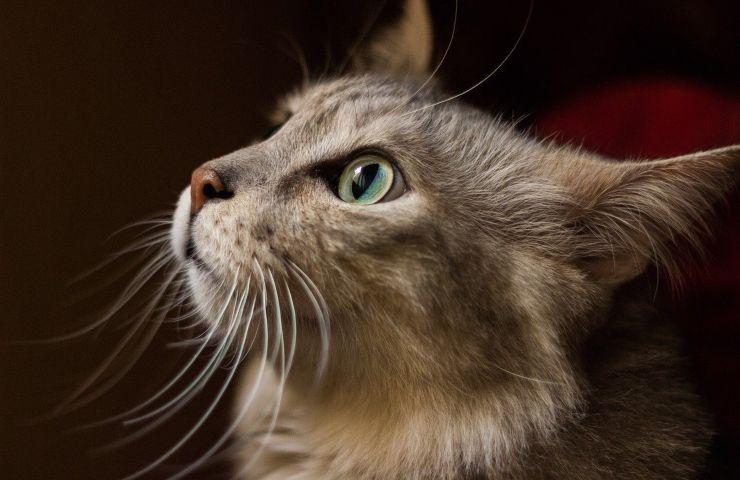 Baffi gatto