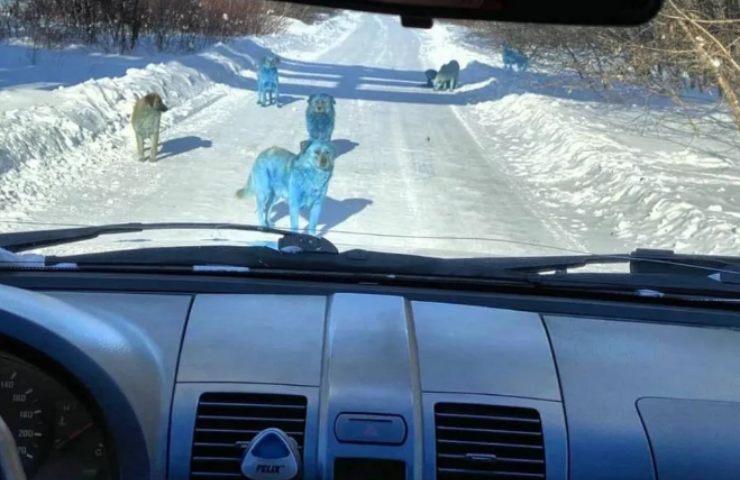 Cani blu Russia