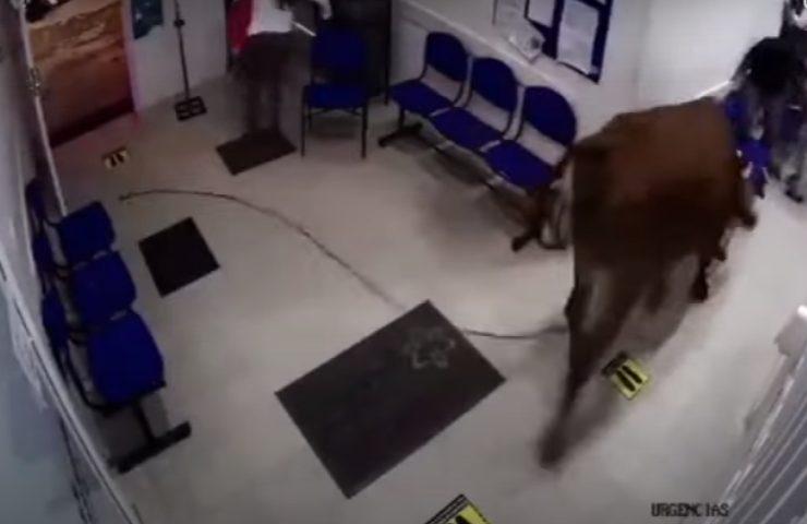 Una mucca pazza fa irruzione al pronto soccorso