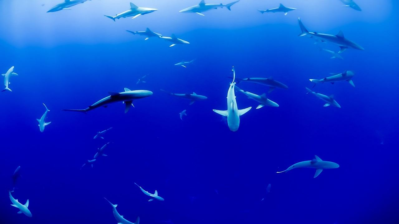Squali salveranno ecosistema oceano studio