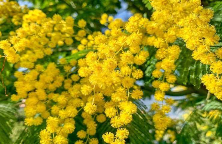 Storia e ricetta della Torta Mimosa