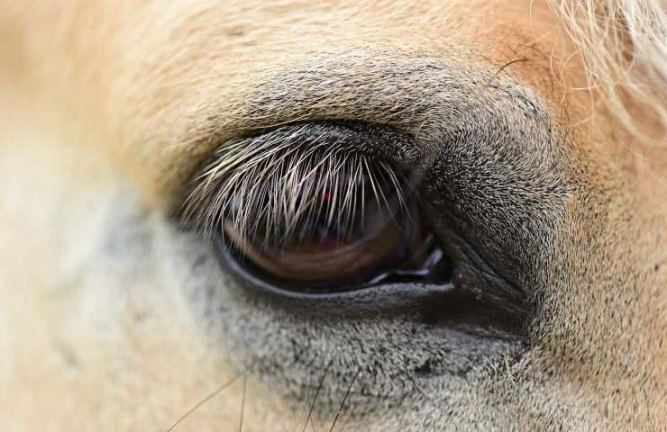 Cavallo 5 curiosità