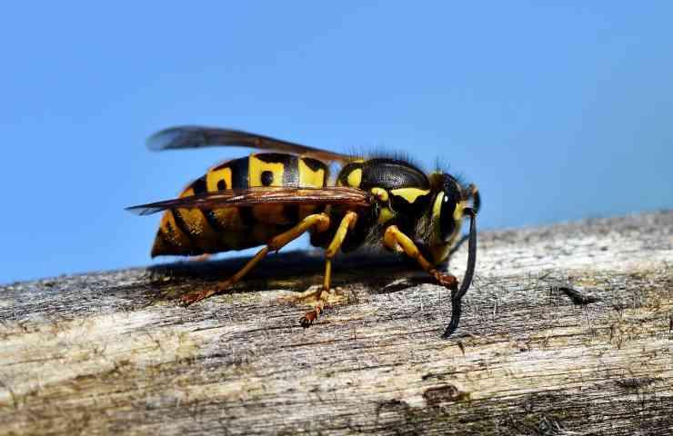 punture vespa rimedi naturali